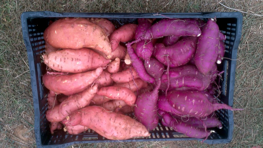 Sweet Potatoes ready for market.