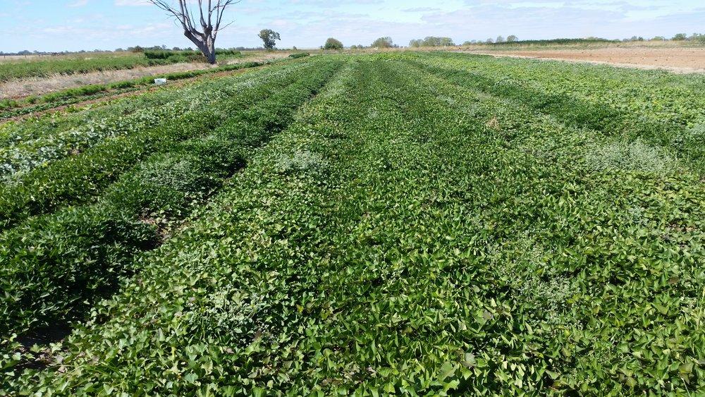 Sweet Potatoes before harvest