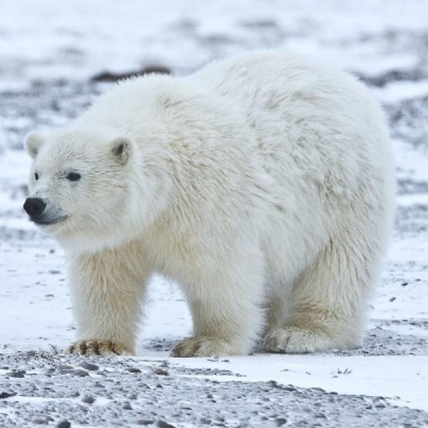 icebear2.jpg
