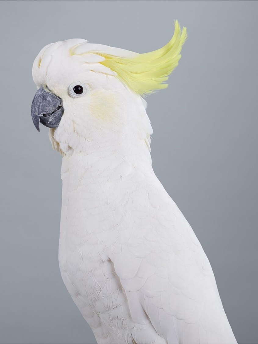 Leila Jeffreys -  Scratch Sulphur Crested Cockatoo  2017, fine art inkjet print on cotton rag archival paper, 44 x 35 inches (standard), 55 x 44 inches (large). Image courtesy Olsen Gruin.