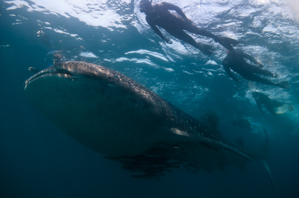 Whale sharks - There's something surreal about swimming with the largest shark, it's a plankton feeder, and the most docile animal one can encounter. Mafia Island in Tanzania is home to recently discovered population of whale sharks that spend part of the year there to feed.We will be headed there during some of the calmest weather the region sees in the year. This is a snorkeling only trip, however, if you want to stay on and do SCUBA it would be highly recommended.Join me for 5 days of swimming with these amazing giants of the sea. No SCUBA certification needed.
