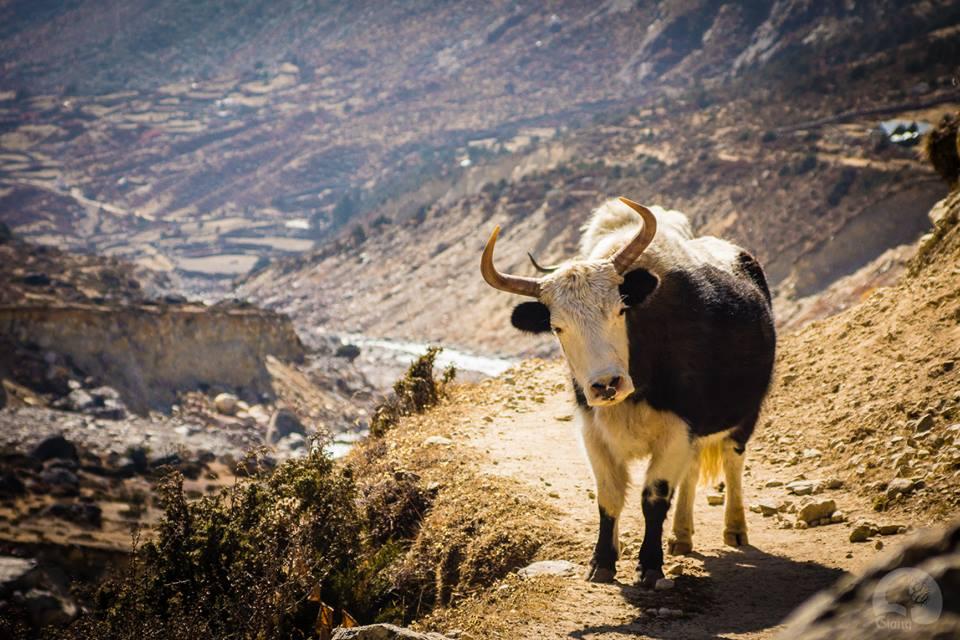 Khi gặp con bò Yak hãy đứng về phía núi. Ảnh chụp bởi Giang Hoàng.