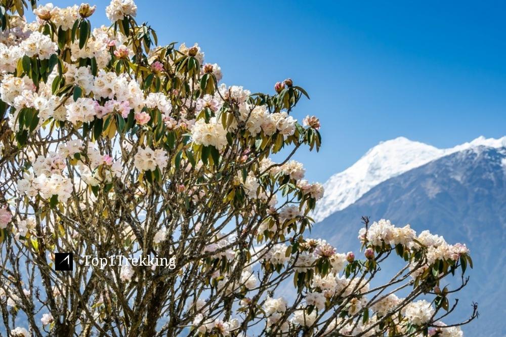 Hoa đỗ quyên trắng ở vùng Langtang