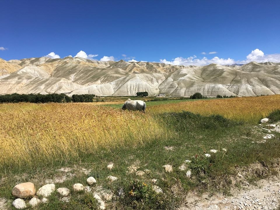 Những cánh đồng lúa ở Upper Mustang