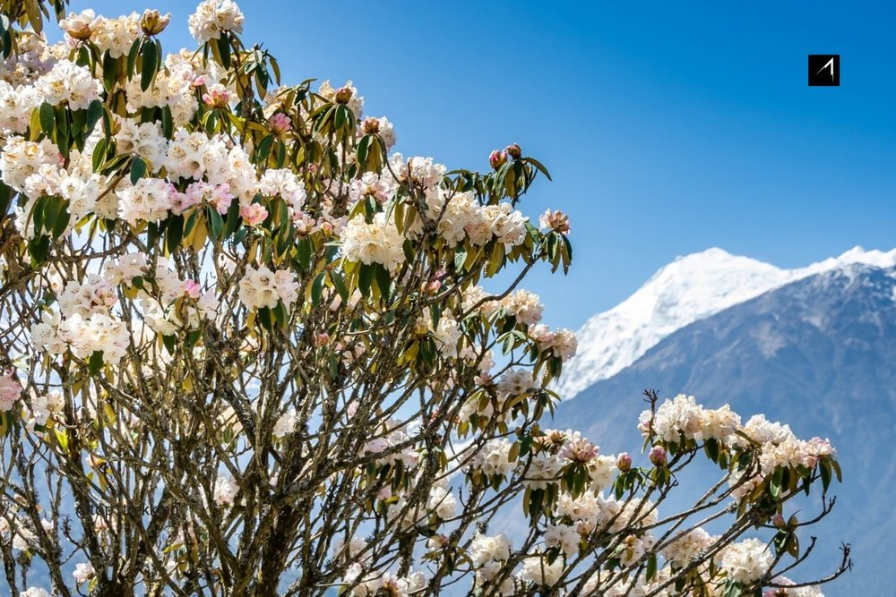 Langtang valley and Rhododendron .jpg