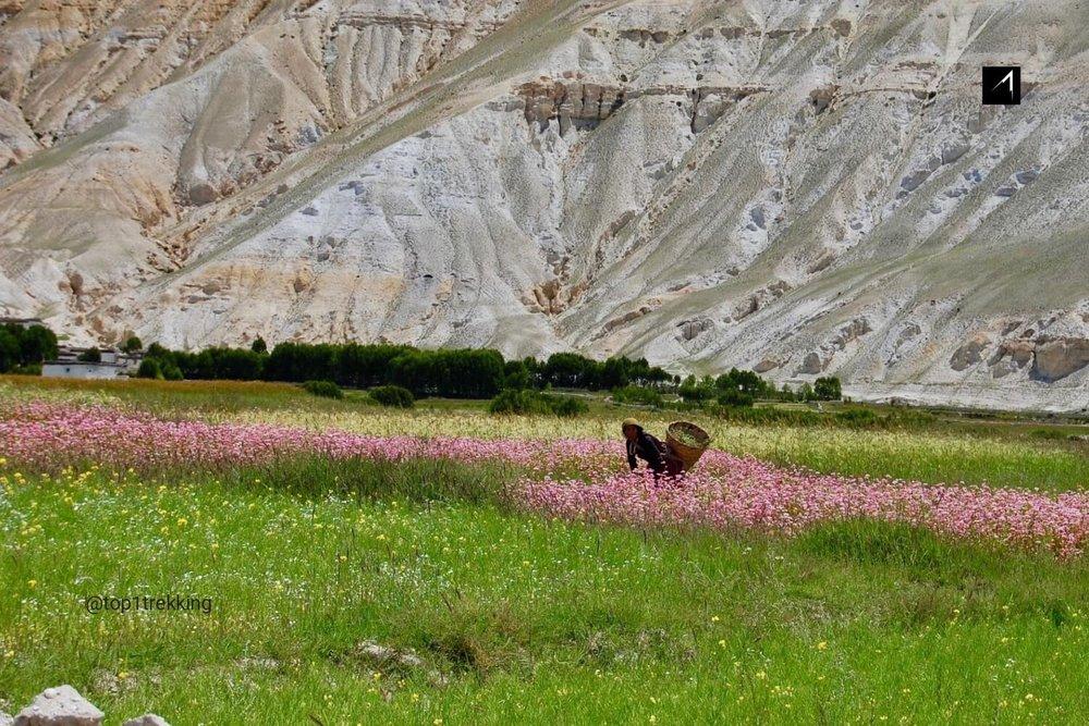 Bucket wheat field in Mustang in Monsoon season
