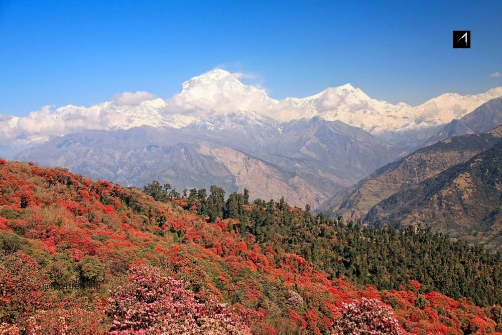 Spectacular panaroma views of dazzling snow-white Dhaulagiri mountain ranges in contract with Red rhododendron hill during spring time