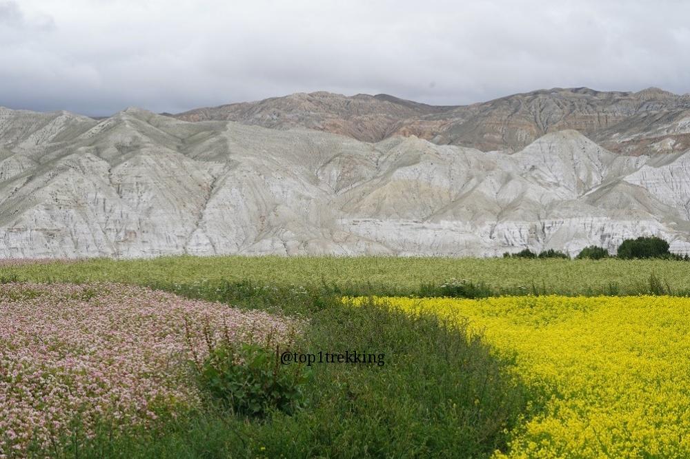 Cánh đồng hoa tam giác mạc, mù tạc, lúa mạch đang trổ bông