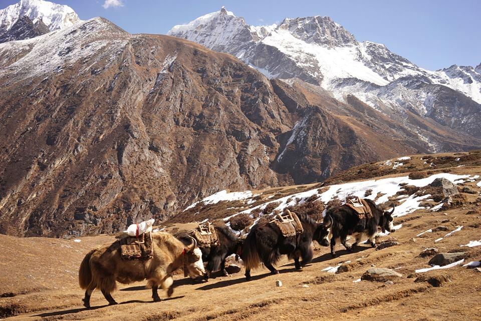 Một đàn bò Yak Tây Tạng được dùng để vận chuyển thức ăn và trang thiết bị ở thung lũng Gokyo