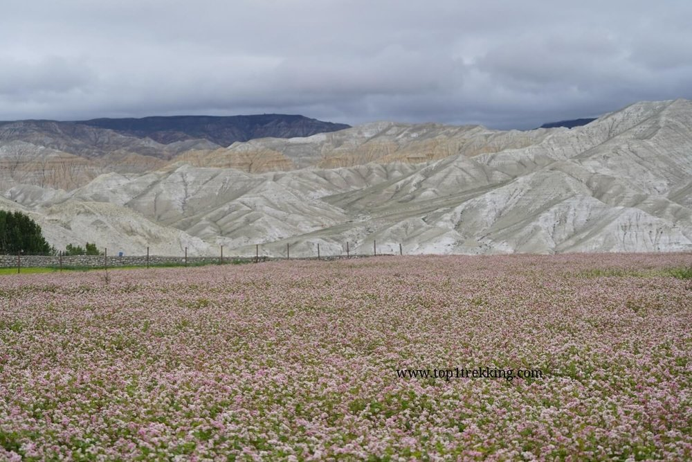 Bucketwheat fields in Lo Manthang in late July