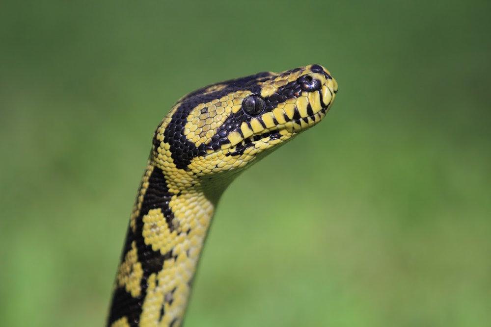 Turtle Bay Python.jpg