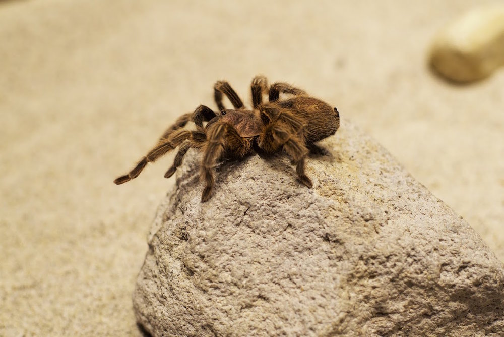 Turtle Bay Chilean Rose Tarantula.jpg