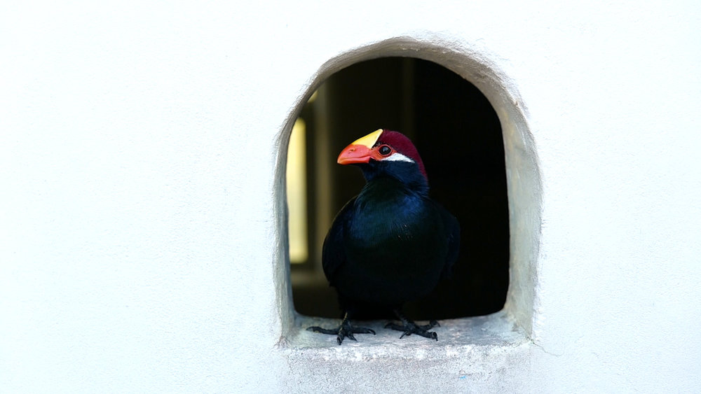 Turaco Birds.00_00_15_04.Still007.jpg