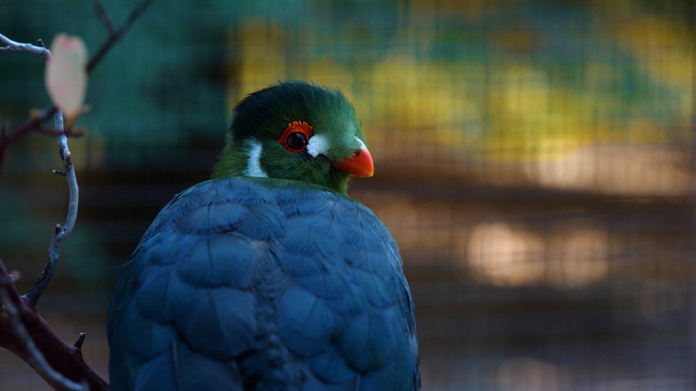 Turaco Birds.00_00_37_16.Still010.jpg