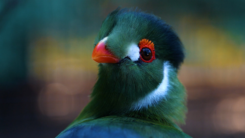 Turaco Birds.00_00_43_12.Still012.jpg