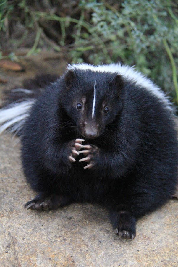 Turtle Bay Exploration Park Striped Skunk.jpg