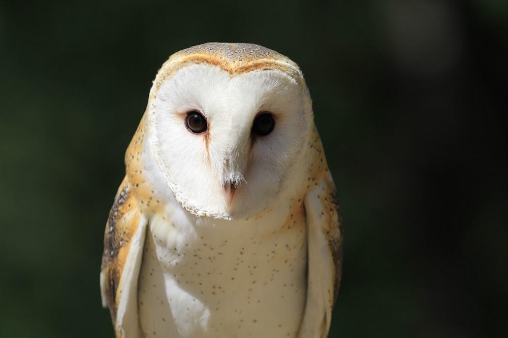 Turlte Bay Animal Show Barn Owl.jpg