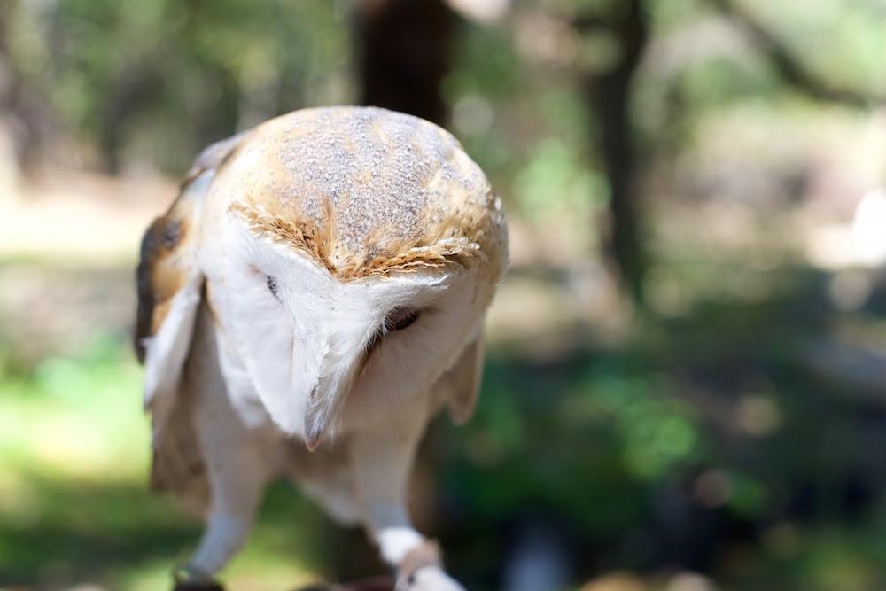 Turtle Bay Exploration Park Barn Owl.jpg