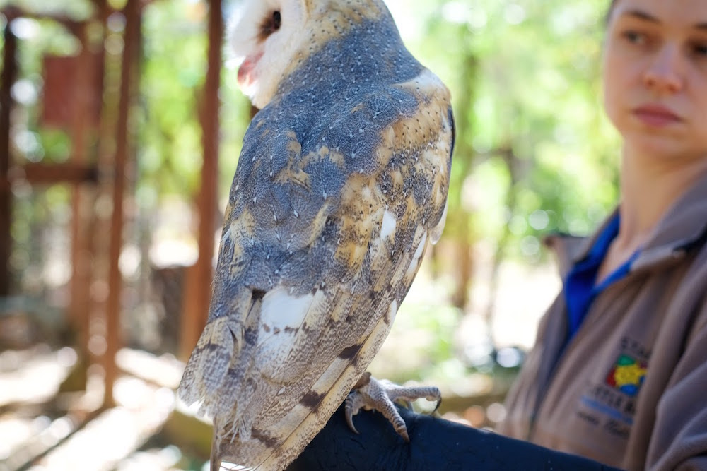 Redding California Barn Owl.jpg
