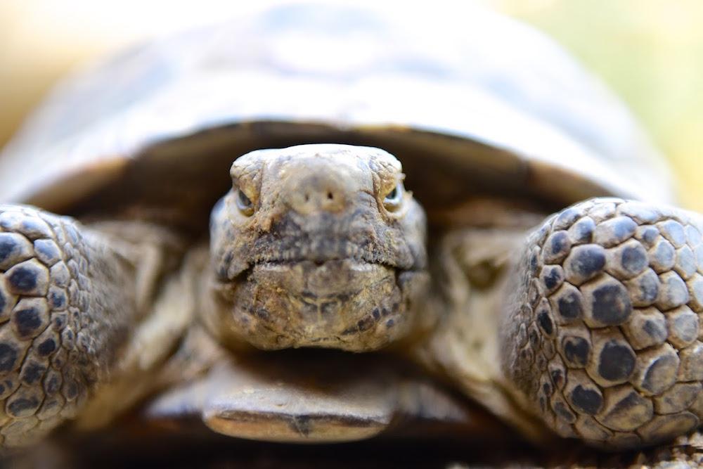 turtle bay museum desert tortoise.jpg