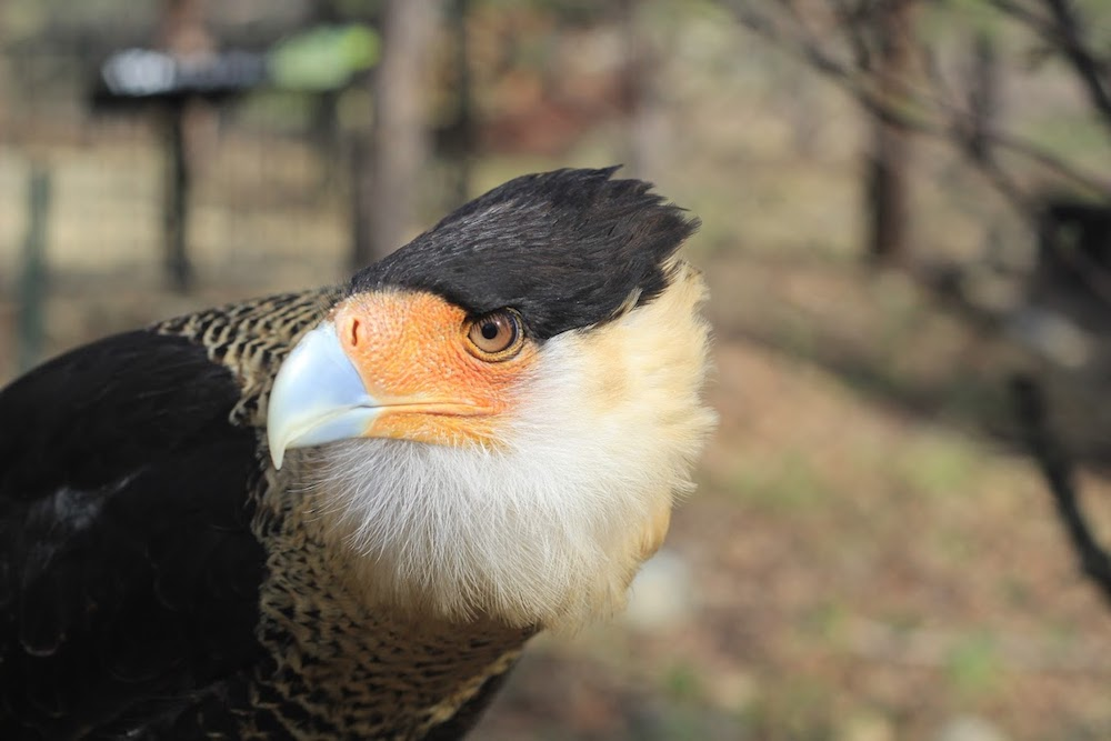 Suerte - Crested Caracara -She was hit by a semi-truck outside of Austin, Texas and stuck on the front grille for 100 miles. She only has partial flight due to a broken wing. Her name means lucky in Spanish. She arrived at Turtle Bay on May 2, 2012.