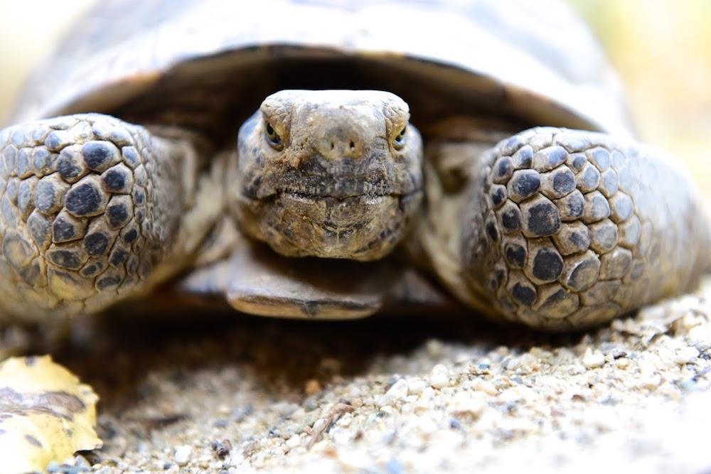 California Desert Tortoise -