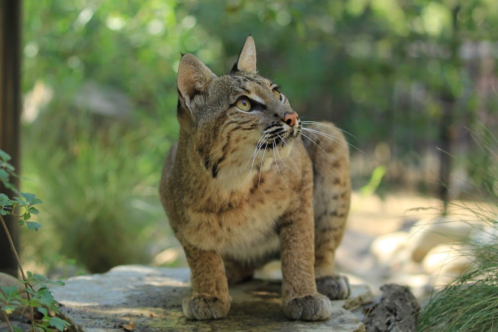 Whisper - Bobcat - She was found orphaned near an oil rigger in Kansas at only two weeks old. Kansas law says to euthanize, but the local zoo saved her and sent her to us as an ambassador for her species in our educational programs.