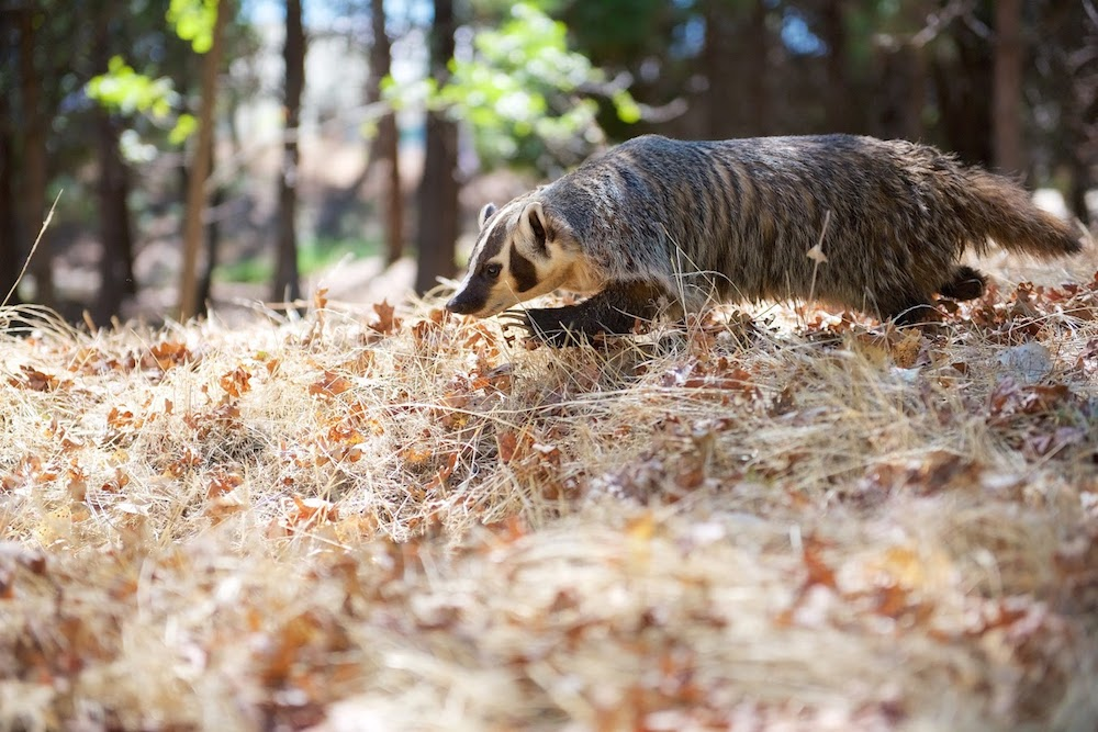 American Badger -