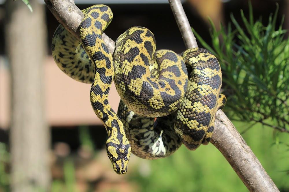 Jungle Carpet Python -