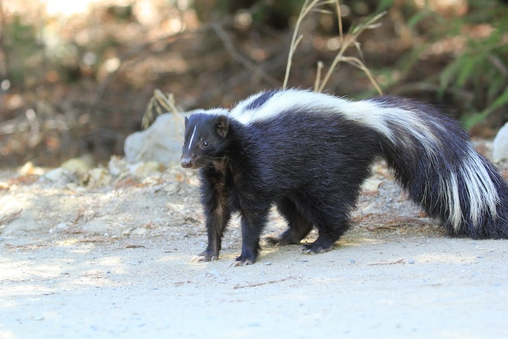 Sweet Pea - Striped Skunk - Found on a driveway in Shingletown at only 3 weeks old, dehydrated and emaciated. During rehabilitation it was discovered she had a neurological problem. She came to Turtle Bay at 8 weeks old on 6/20/2013 and was raised by the trainers.