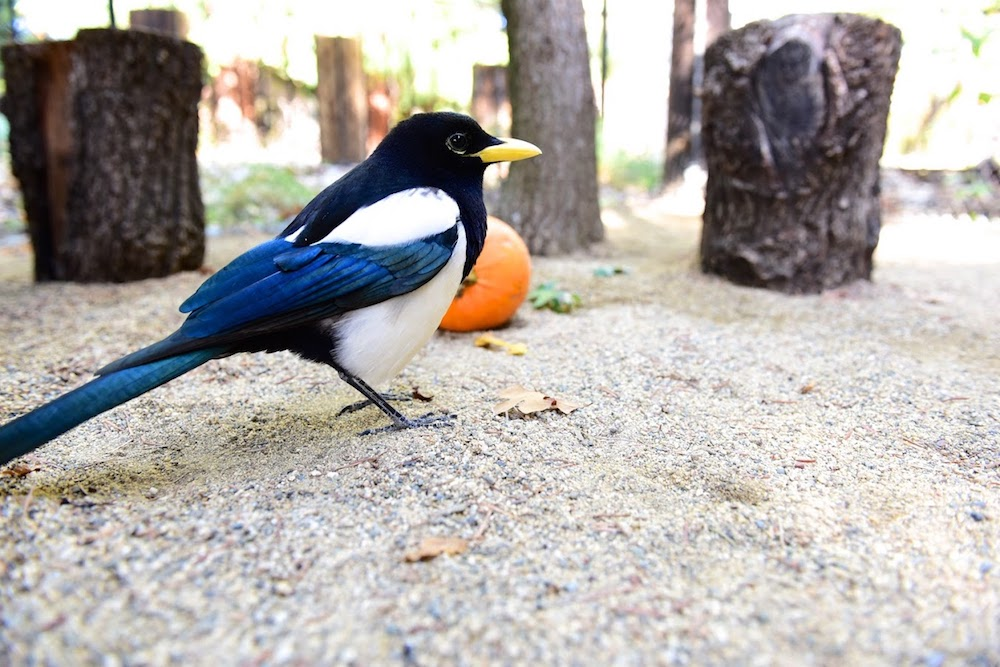 Ruckus - Yellow-Billed Magpie - Arrived at Turtle Bay in June 2016 as a young imprint.