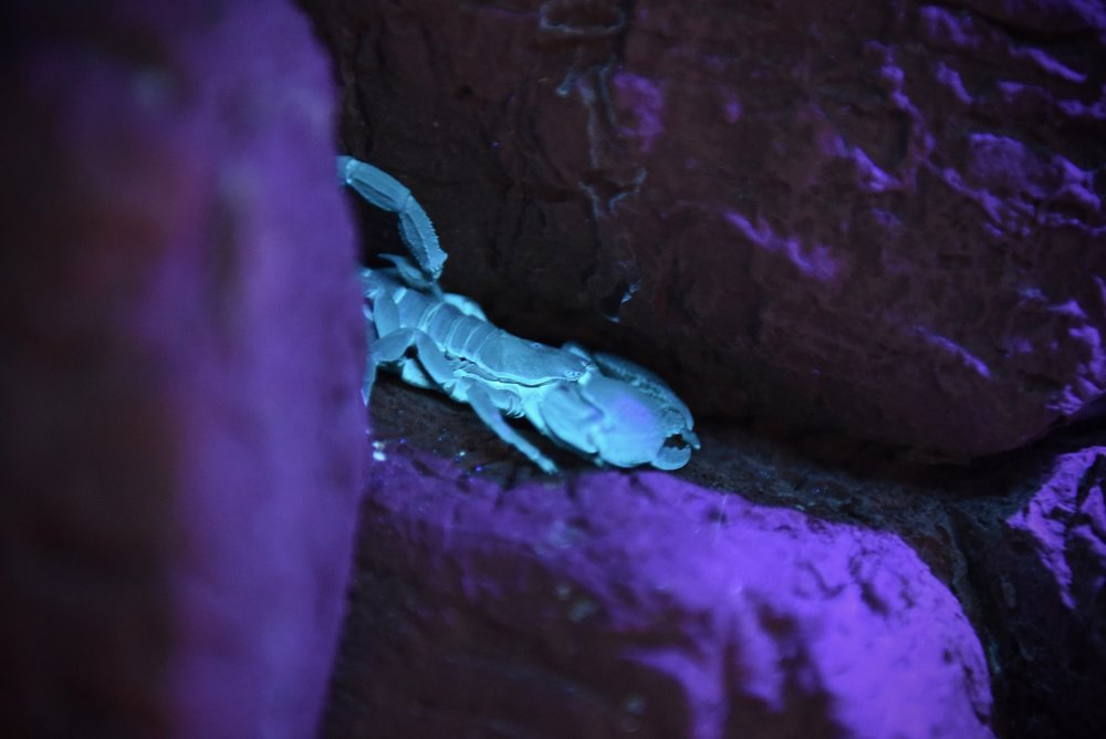 Augustus - Emperor Scorpion - Was hatched at the Blank Park Zoo.