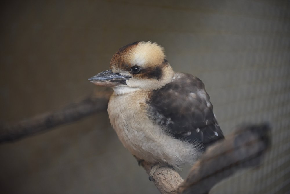 Kinta - Laughing Kookaburra -Hatched at the Tracy Aviary in Utah June 2004 (raised by Sharon herself!). Kinta came to Turtle Bay in August 2011.