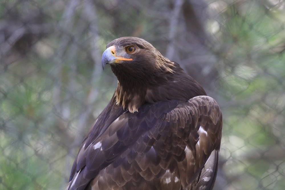 Golden Eagle -