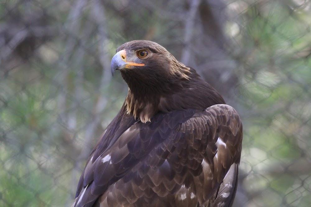 Golden Eagle -
