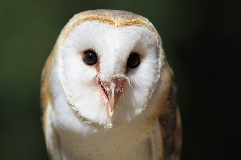 Cricket - Barn Owl -Hatched in human care at the Raptor Project in New York. He was hand raised and sent to Turtle Bay on Aug 20, 2008 at 8 weeks of age. He is a human imprint.