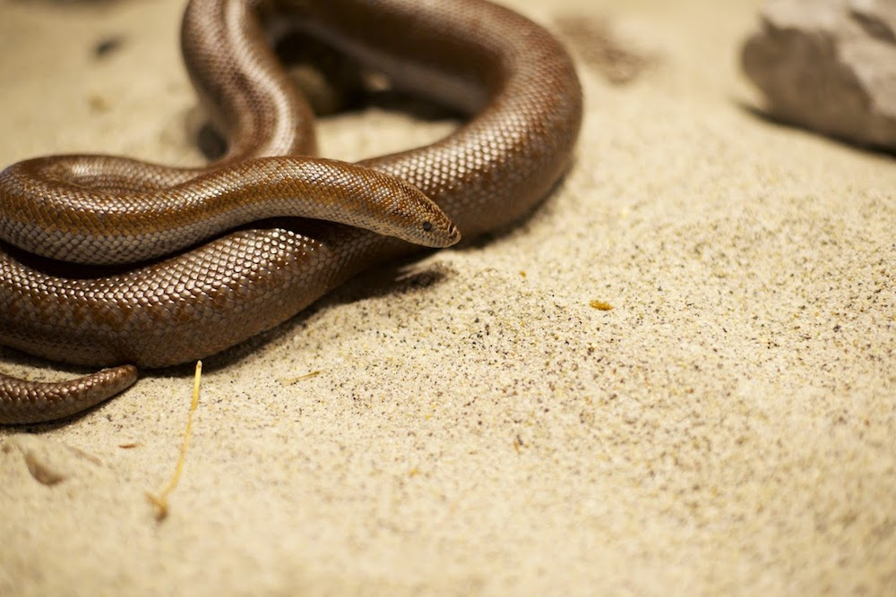 Baja - Rosy Boa - Baja came to Turtle Bay in December 2011 as a sub-adult