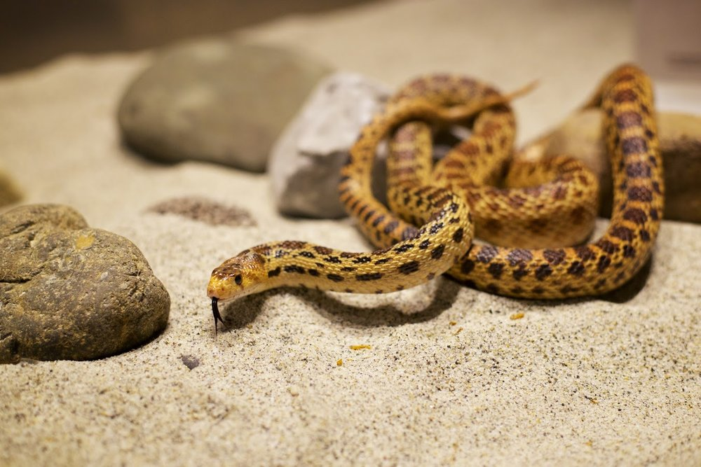Chico - Gopher Snake - Donated as a former pet. Chico is the subspecies Pacific gopher snake which encompasses a large part of Northwestern California.