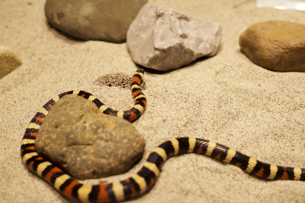 Houdini - Mountain Kingsnake - Stolen from the wild and kept as a pet as a young snake. Unwanted years later, he was acquired Jan 2015.