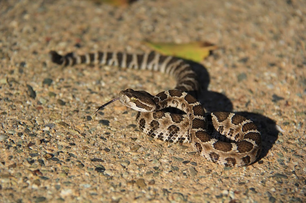Northern Pacific Rattlesnake -