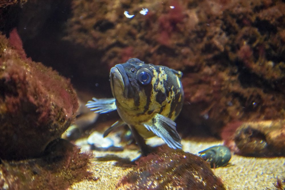 Black and Yellow Rockfish -