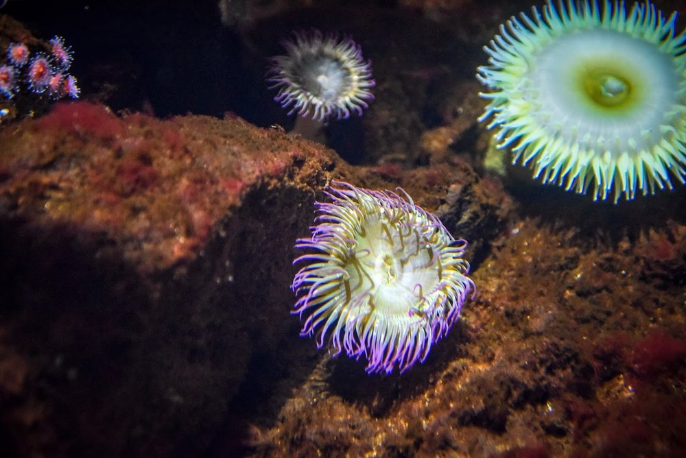 Aggregating and Green Anemone -