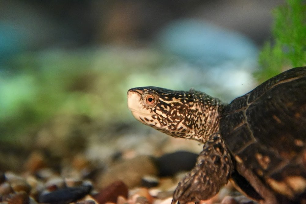 Western Pond Turtle -