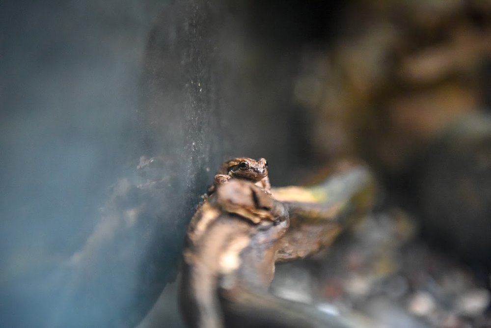 Pacific Tree Frog -