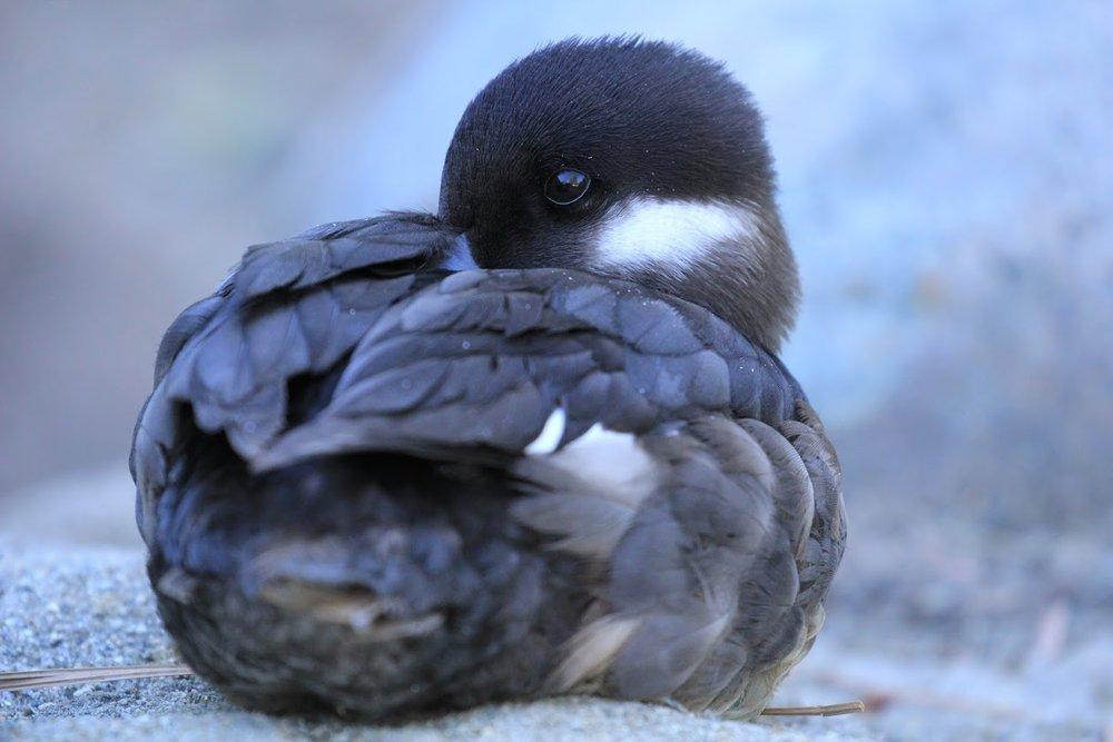 Bufflehead Duck -