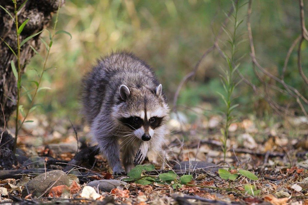 Raccoon -