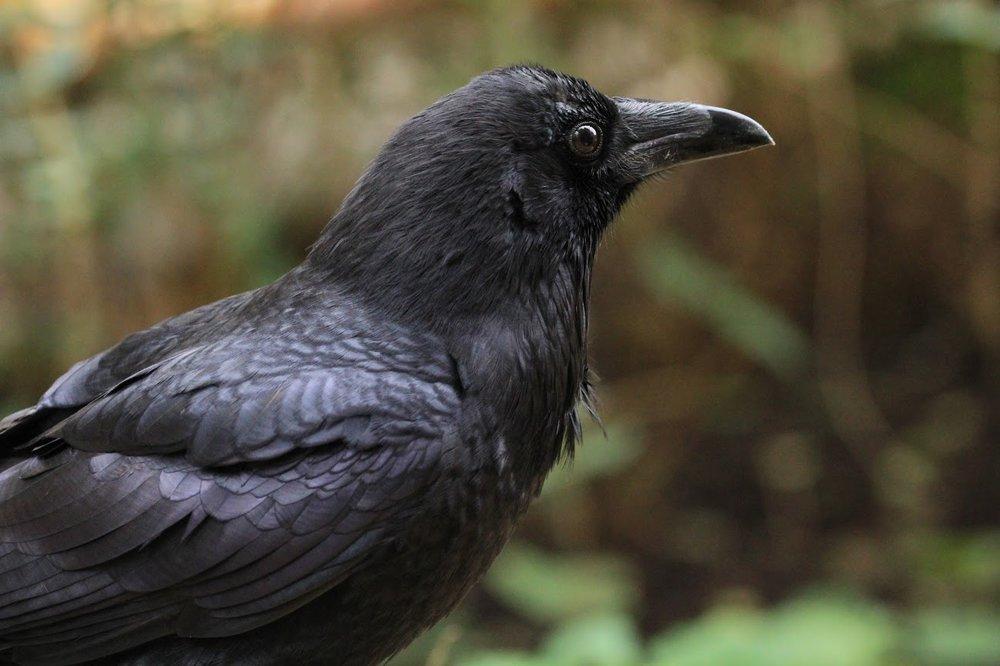 Common Raven -