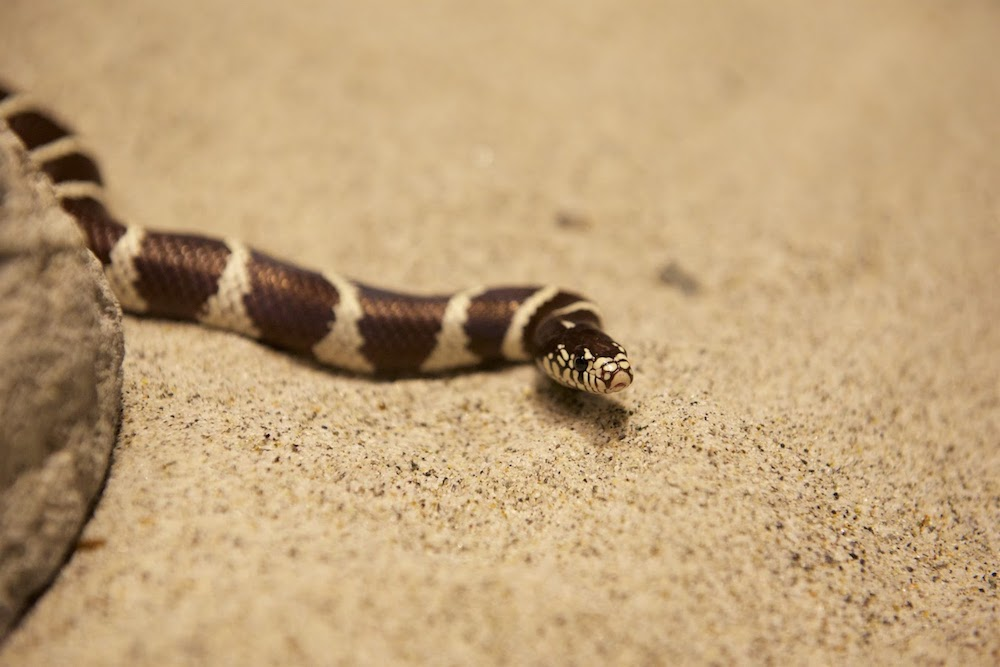 California Common Kingsnake -