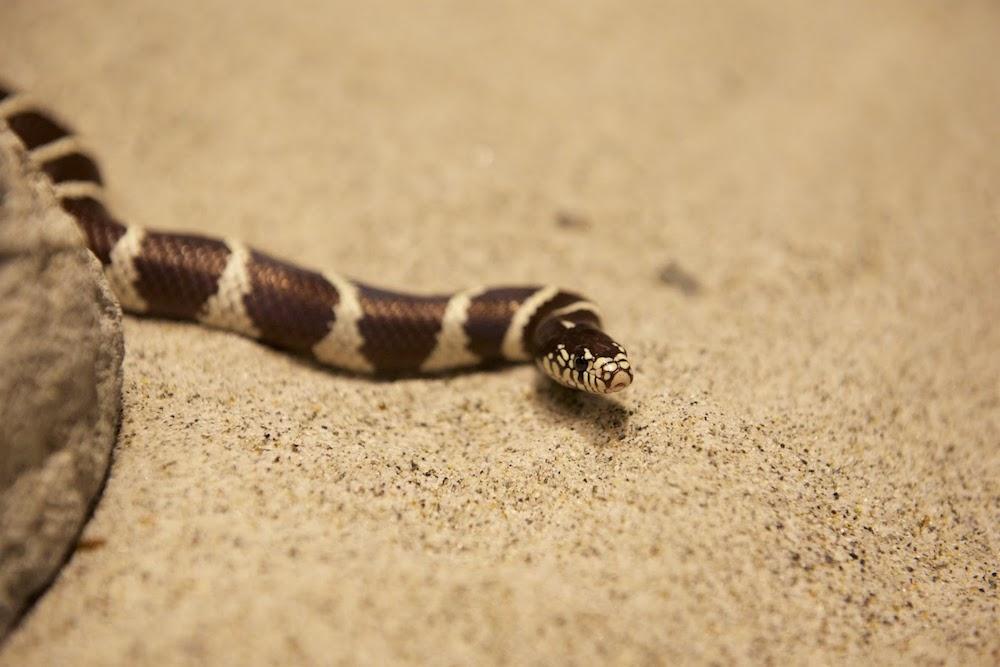 California Common Kingsnake -