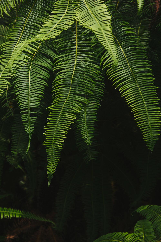 Langkawi-ferns.jpg